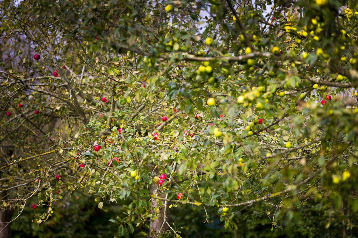 Apfelgärten in der Nähe von Criel-sur-Mer