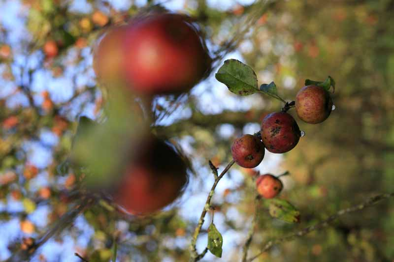 Äpfel Cametours Cidre Lemasson